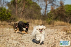 Photofordog_epagneul_tibetain_04
